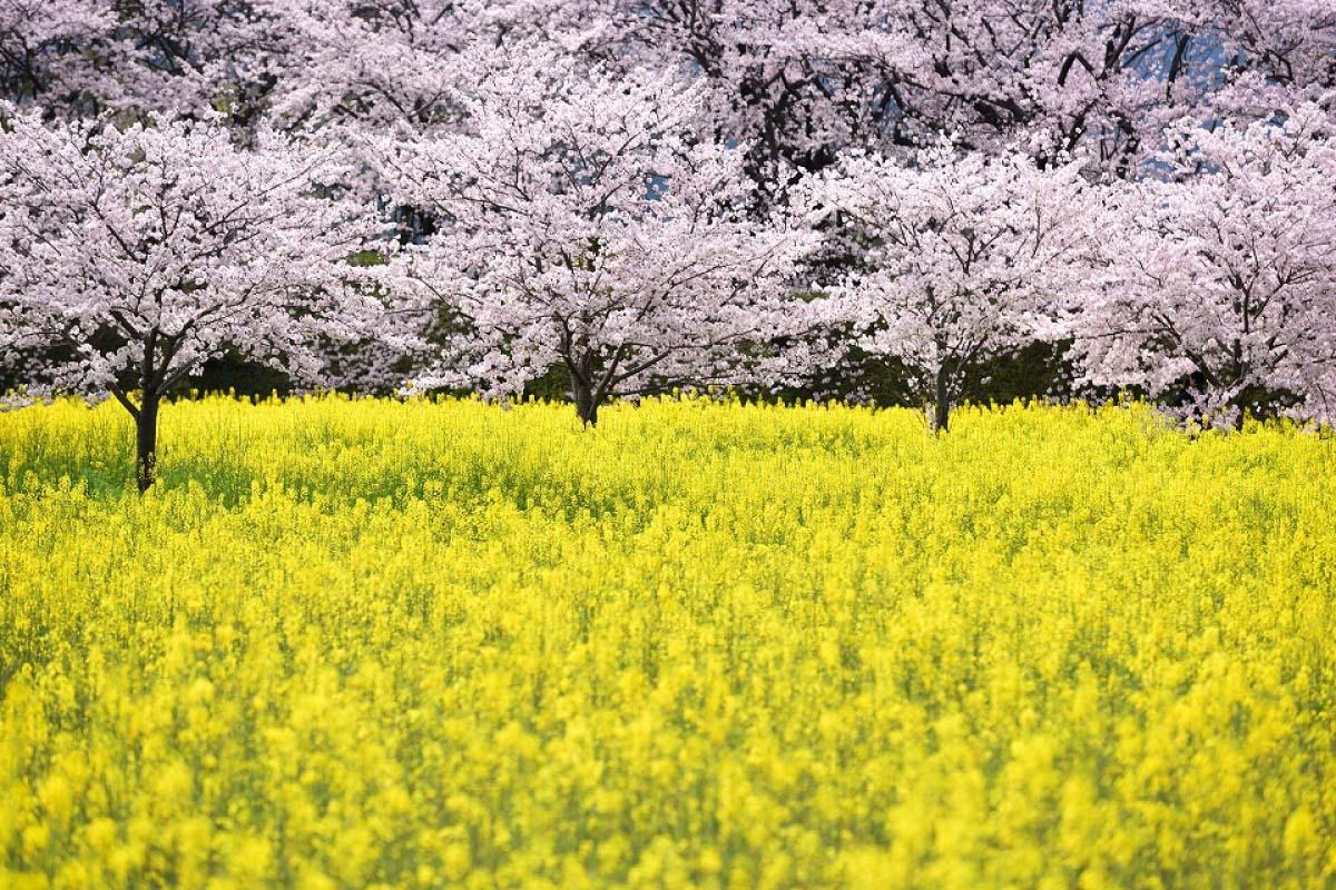 藤原宮跡の桜