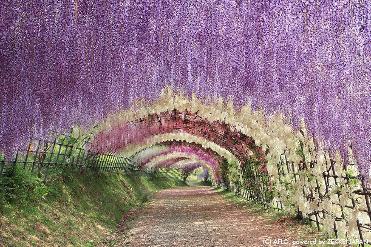 目を奪われるほど美しい!藤の花の名所「河内藤園」の藤棚が幻想的すぎる|ZEKKEI Japan
