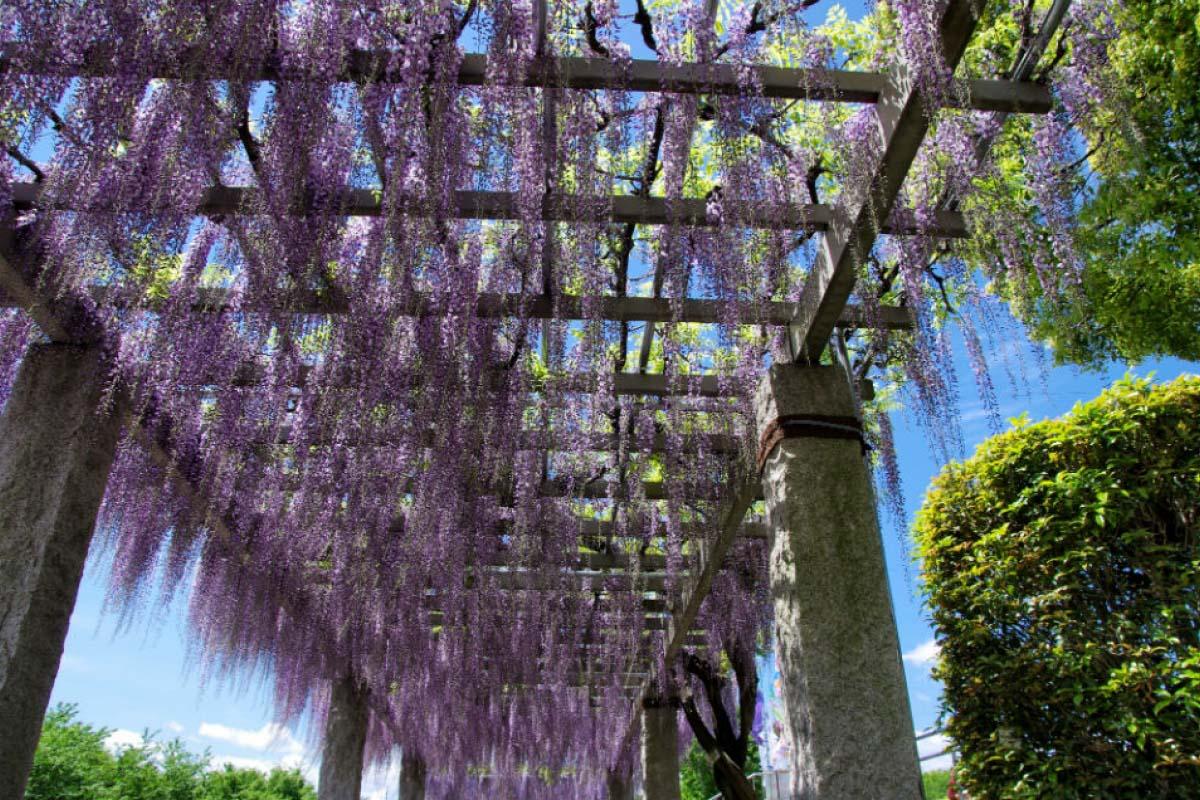藤之咲丘公園  紫藤花瀑布