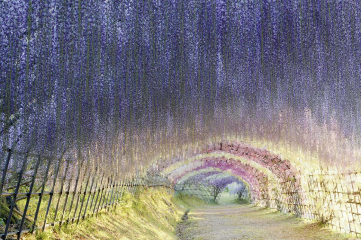 河内藤園  紫藤花瀑布