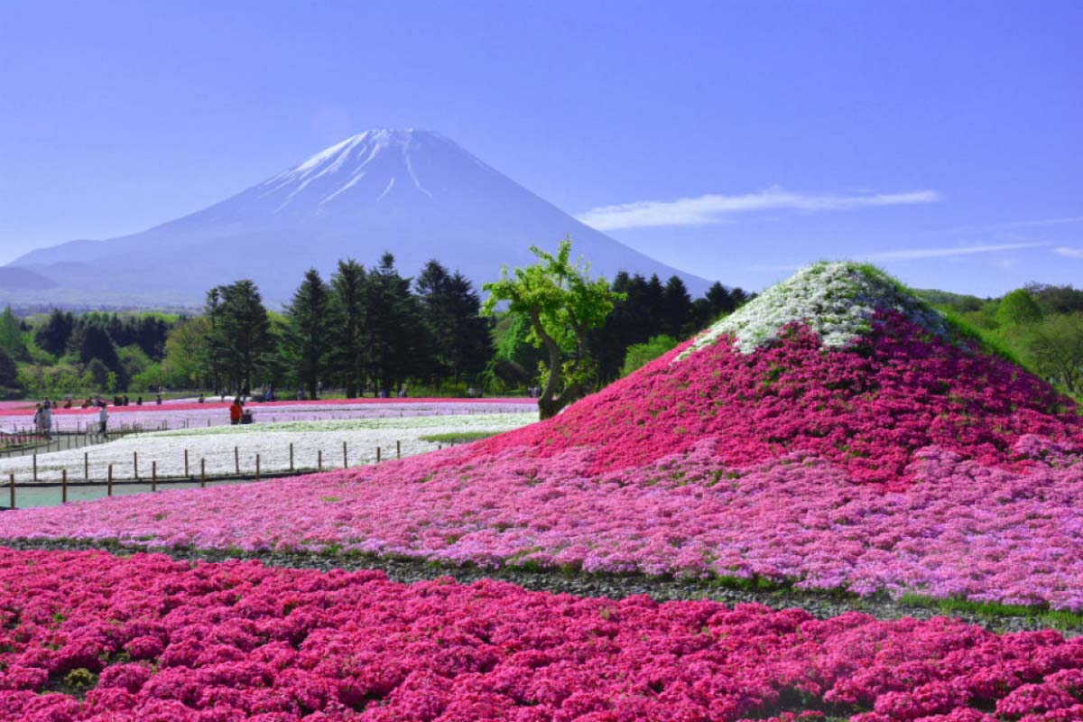 ゴールデンウィークに行くべし!東京から2時間で行ける2大芝桜まつり