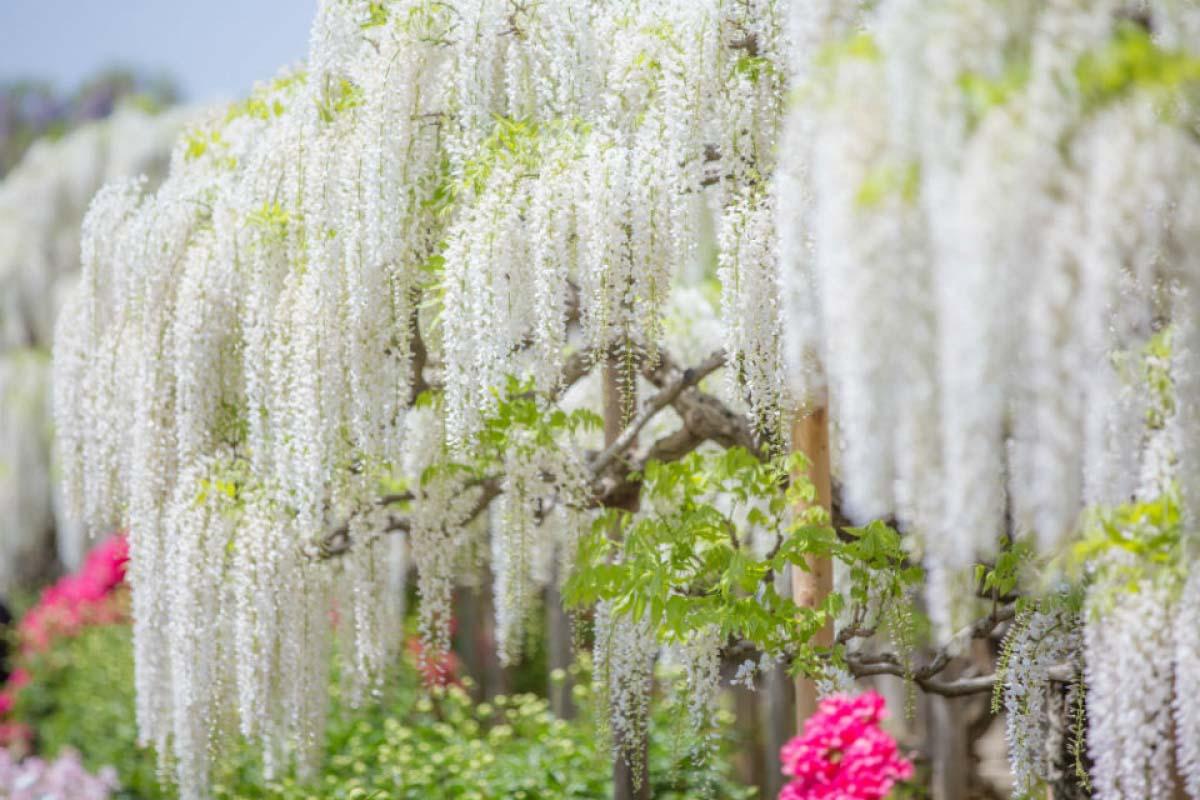 足利花卉公園 紫藤花瀑布