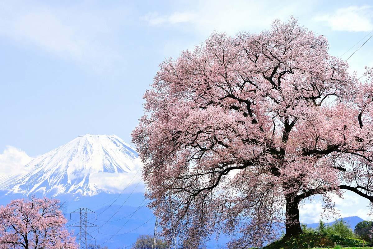 わに塚の桜