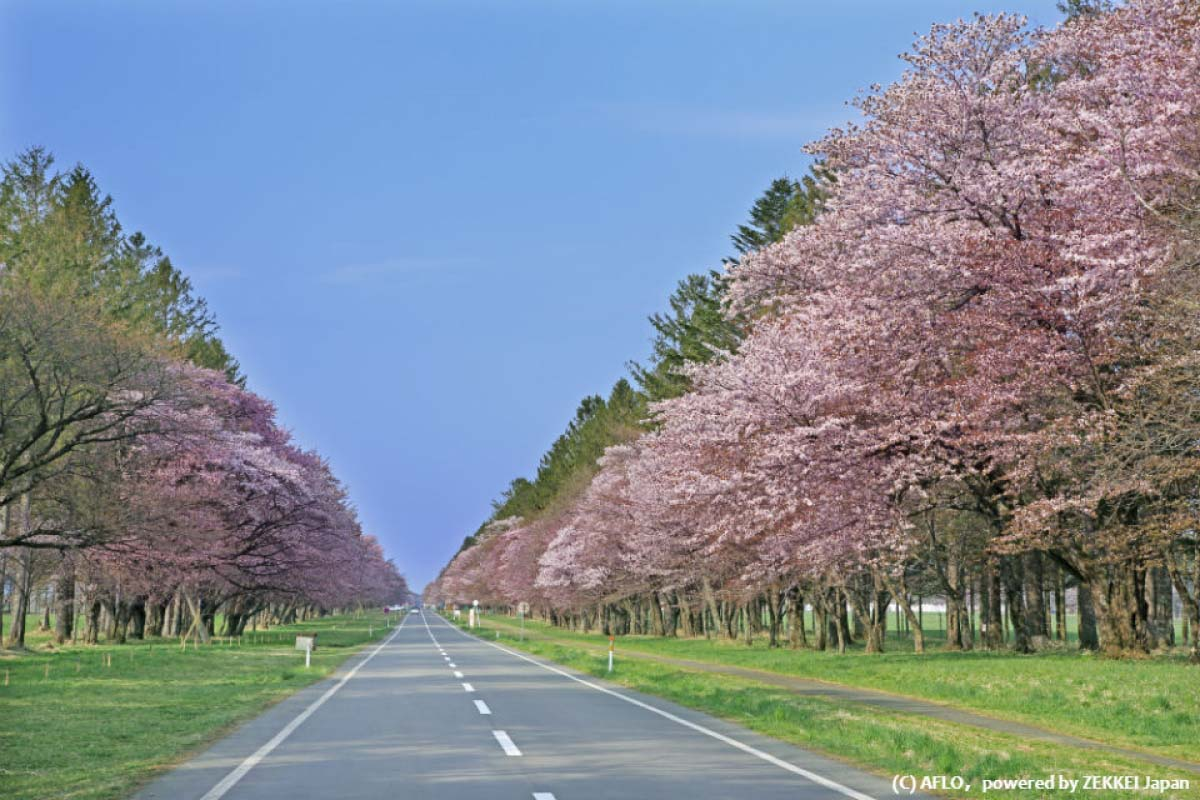 二二十間道路桜並木