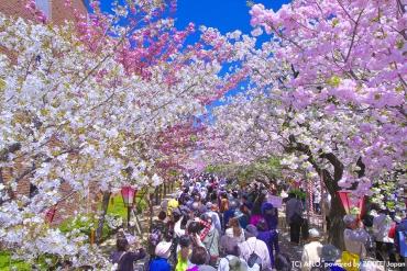 大阪造幣局賞櫻攻略!今年也準備人擠人和大吃大喝吧!