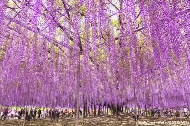 既飽眼福,又飽口福!日本人都不一定清楚的紫藤花小知識
