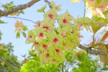 【緑色の桜があるって知ってた?】面白い・珍しい桜12選