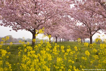 Beautiful Pink and Yellow! A ZEKKEI 5 for Springtime Cherry and Rapa Blossoms