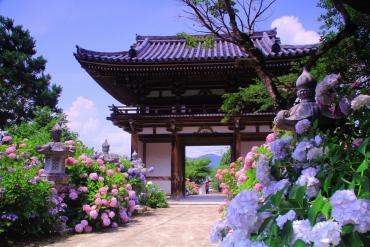 日本梅雨季的風物詩,關西紫陽花4大名所