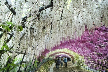 此生必看的夢幻絕景,一年只開30天的紫藤花瀑布