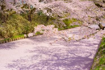 【即將滿開!】 精選7大觀賞美漫步佳的櫻花隧道