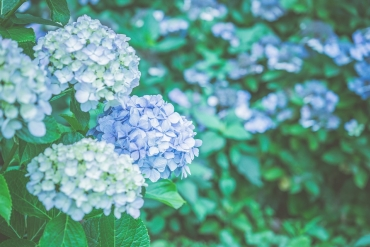 5 secrets of hydrangeas: Is a hydrangea poisonous?
