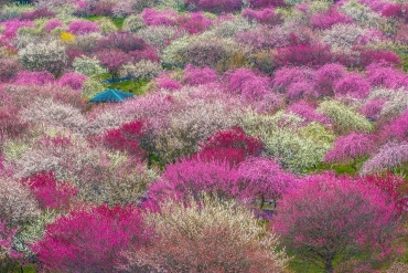 甘い香りに包まれる。三重の三大「梅」絶景を見に行こう!