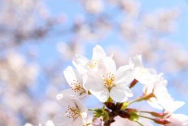 【小知识】开花时间自己算!想看樱花的朋友学起来