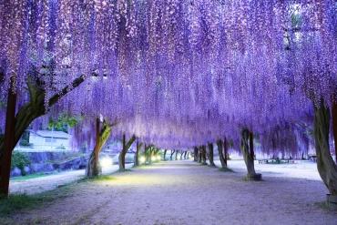 踏進藤波紫浪的幻想風景!日本賞藤絕景經典十選