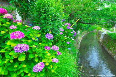 Look them best in rain! The best spots of hydrangea in rainy season-Western Japan-