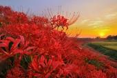 妖豔絕美的異界絶景!日本「曼珠沙華絕景」10選
