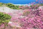 沖縄は春!日本一早い桜に会える沖縄桜の名所3選
