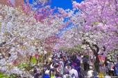 2018年去「大阪」賞花就來這裡!精選5大必賞櫻花絕景
