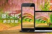 【あなたのパソコン・スマホに絶景を】GWのおでかけに!藤と芝桜のZEKKEI壁紙をプレゼント!