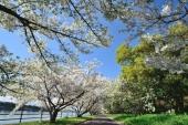 跟著大阪人看櫻花總沒錯,當地人口袋賞櫻地點大公開