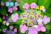 什麼!!紫陽花的花朵原來長在這!? 連日本人都不知道的紫陽花小知識