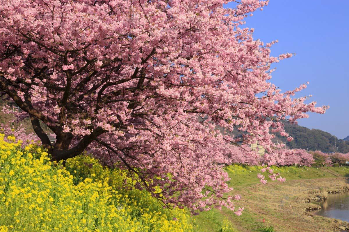 Minami no Sakura Cherry Blossoms