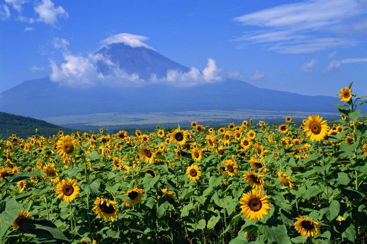 Sunflowers in Oshino Village