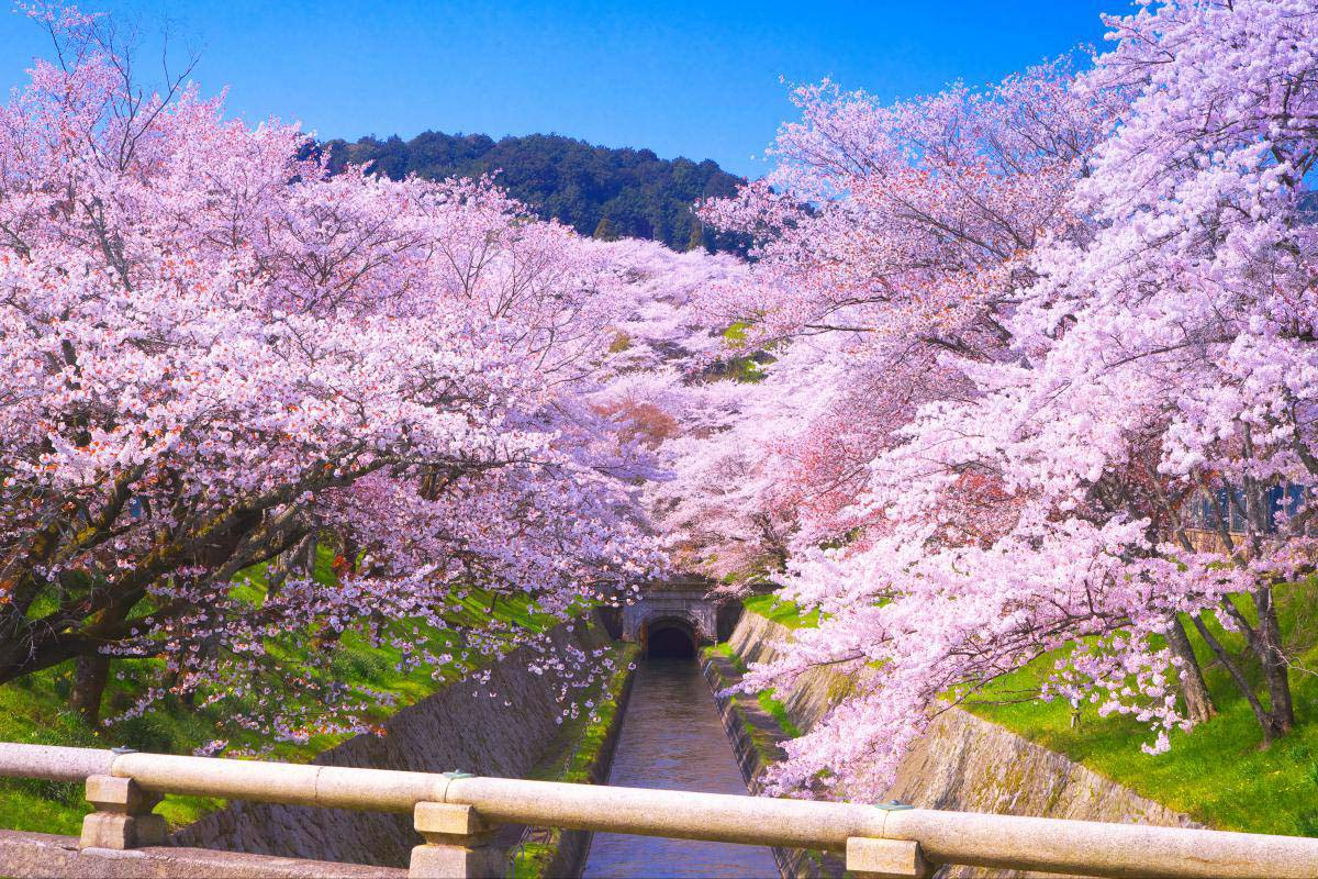 Cherry trees of Lake Biwa Canal