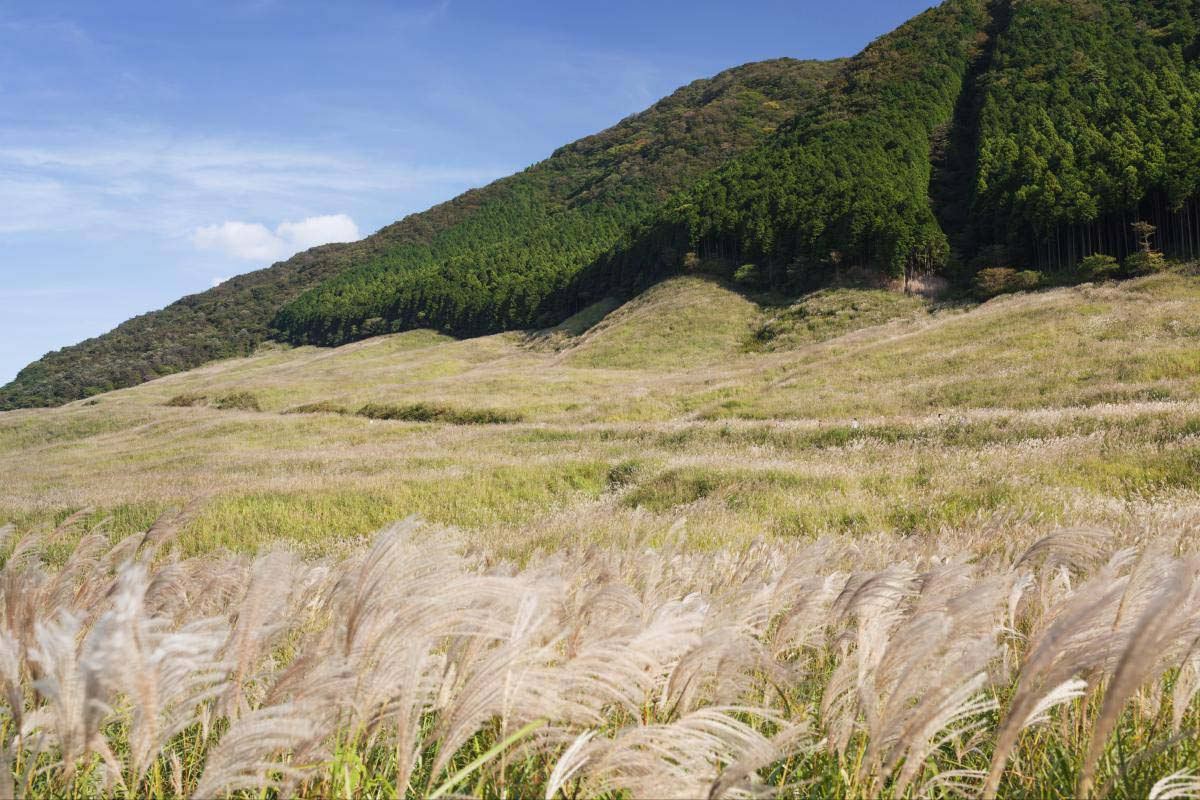 Pampas grass of Sengokubara