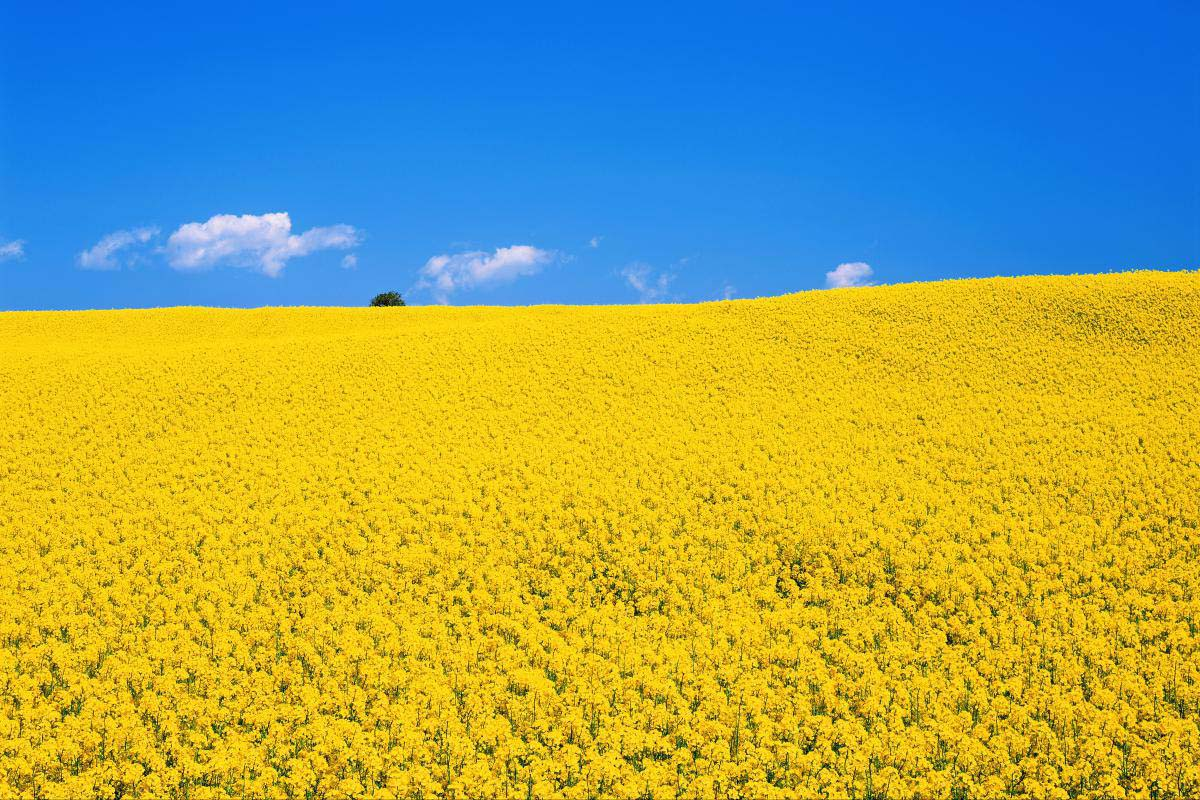Rape Field in Yokohama-machi