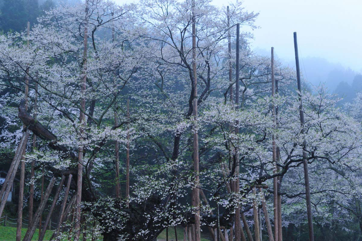 Usuzumi-zakura Cherry Tree