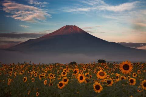 忍野村向日葵