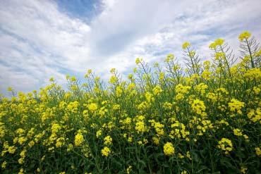 滝川市の菜の花畑(札幌・小樽)