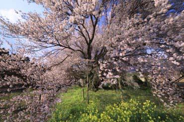 Ishingyou cherry(Kumamoto)