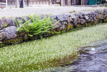 醒ヶ井 梅花藻(滋賀・琵琶湖)