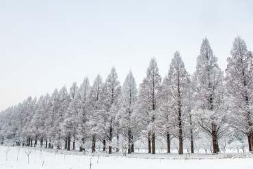 牧野町水杉並木