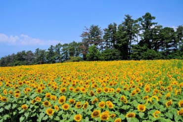 Sunflower Fields in Akeno(Yamanashi)