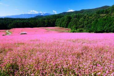 紅蕎麥之鄉(長野)