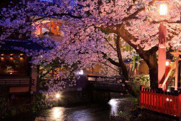 祗园白川的樱花(京都)