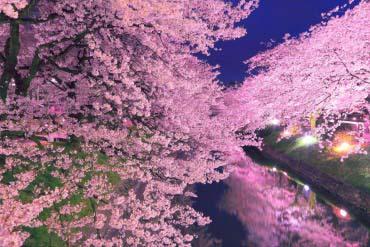 松川の桜(富山・黒部・立山)
