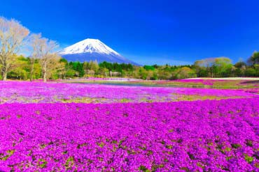 富士芝櫻花祭(富士山)