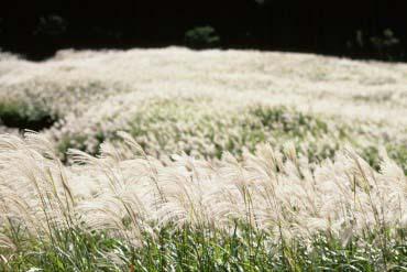 仙石原的芒草