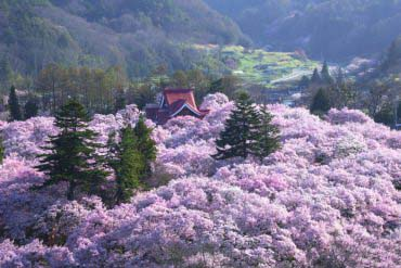 Cherry Blossoms of Takato Castle Site Park(Nagano)