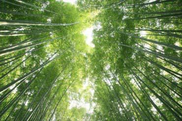Sagano Bamboo Forest(Kyoto)