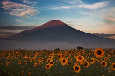 Sunflowers in Oshino Village(Mt. Fuji)
