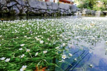 Baikamo, Samegai(Shiga & Lake Biwa )