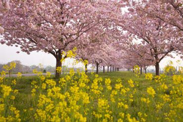 Chikumagawa Teibo Sakurazutsumi (Cherry blossom Chikuma River Sakurazutsumi)(Nagano)