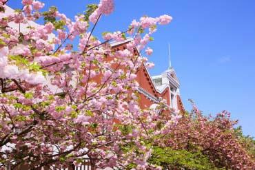 造幣局 桜の通り抜け(大阪)