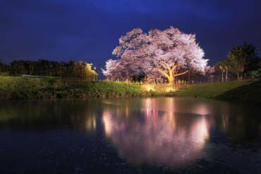 浅井の一本桜(福岡・博多)